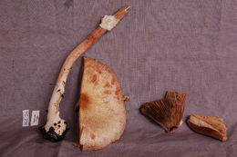 Image of Agaricus