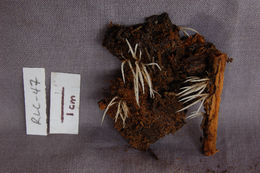 Image of Deflexula