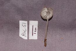 Image of Clitocybula