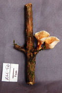 Image of <i>Podoscypha cristata</i> (Berk. & M. A. Curtis) D. A. Reid 1965