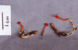 Image of <i>Cordyceps</i>