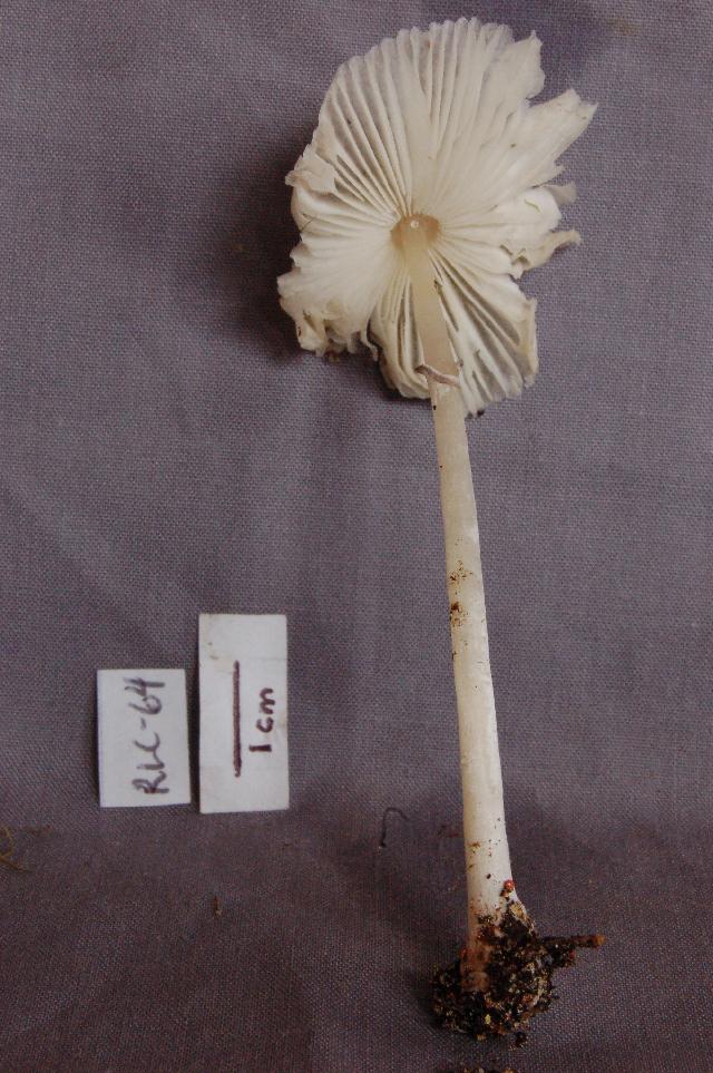 Image of Leucoagaricus