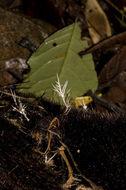 Image of <i>Pterula</i>