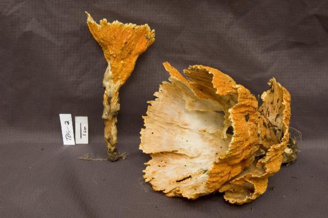 Image of Podoscypha