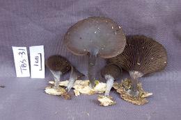 Image of <i>Hohenbuehelia</i>