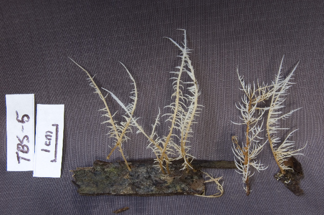 Image of <i>Deflexula sprucei</i> (Mont.) Maas Geest. 1964
