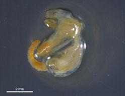 Image of herring gill-sucker