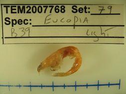 Image of <i>Eucopia</i>
