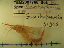 Image of <i>Gnathophausia gigas</i>