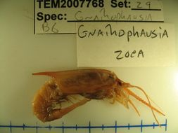 Image of <i>Gnathophausia zoea</i> Willemoes-Suhm 1873