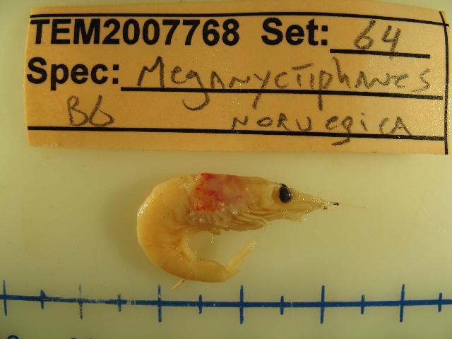 539.ekdfo meganyptiphanes novegica 64 1194988260 jpg