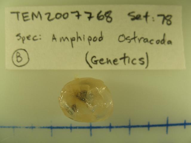 Image of Gigantocypris
