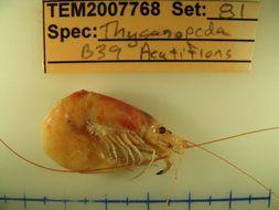 Image of <i>Thysanopoda acutifrons</i> Holt & Tattersall 1905