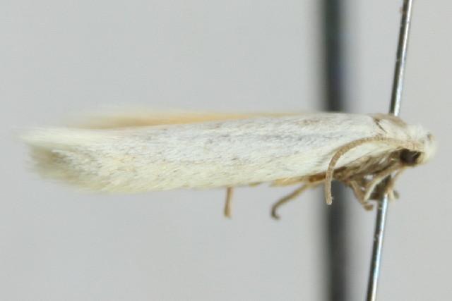 Image of <i>Elachista vartianae</i> Parenti 1981