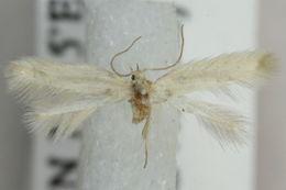 Image of <i>Elachista filicornella</i> Kaila 1992