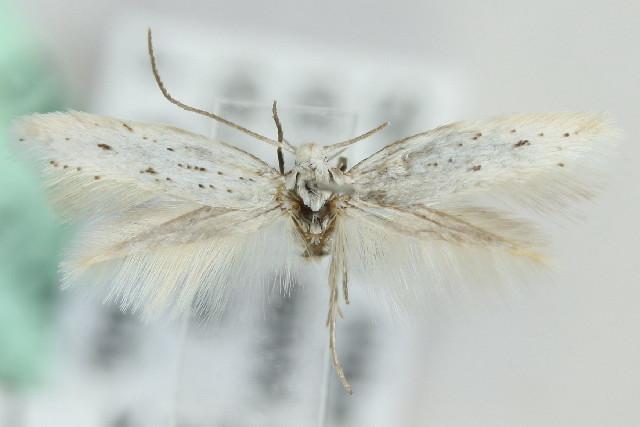 Image of <i>Elachista oukaimedenensis</i> Traugott-Olsen 1988