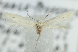 Image of <i>Elachista distigmatella</i>