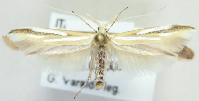 Image of <i>Coleophora solenella</i> Staudinger 1859