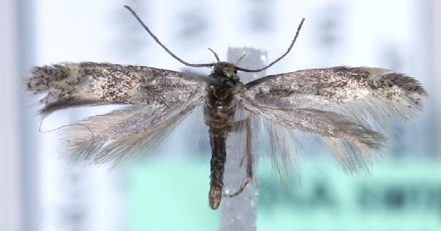 Image of <i>Elachista albicapilla</i> Höfner (1910)