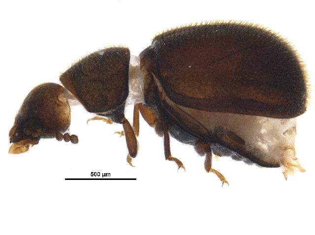 Image of <i>Malacocis brevicollis</i> (Casey 1898)