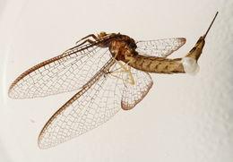 Image of <i>Hexagenia atrocaudata</i> Mc Dunnough 1924