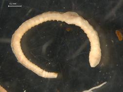 Image of Enchytraeida