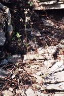 Image of woodruff