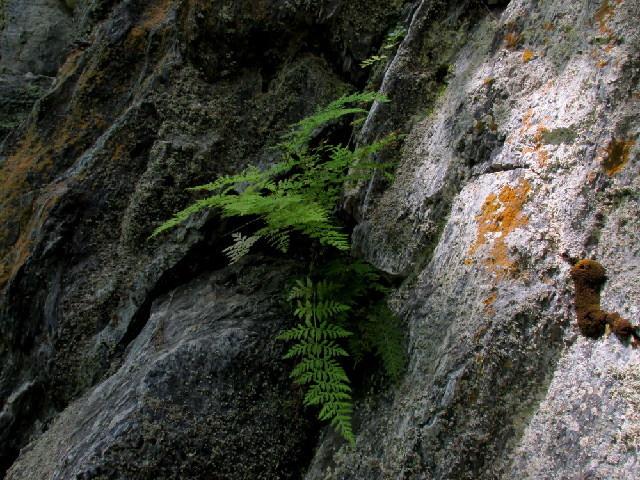 Image of bladderfern