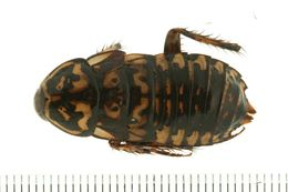 Image of <i>Neostylopyga rhombifolia</i> (Stoll 1813)