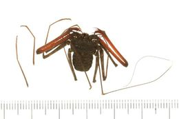 Image of <i>Phrynichus orientalis</i> Weygoldt 1998