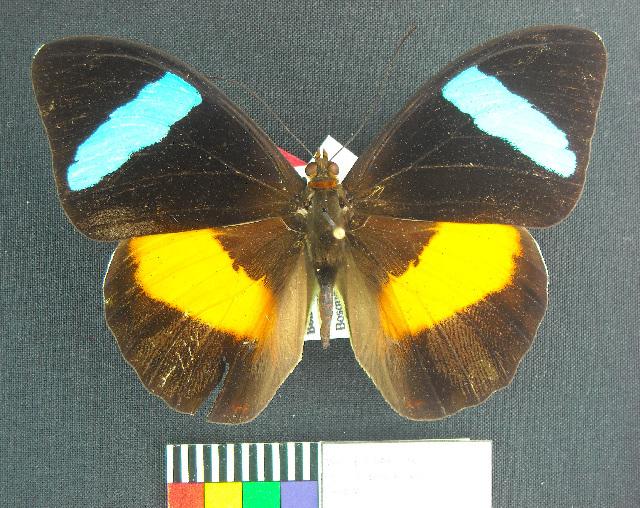 Image of Nessaea