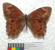 Image of Lasiophila