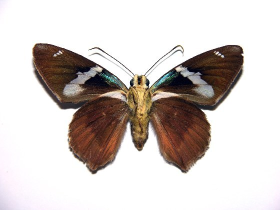 Image of <i>Astraptes boreas</i>