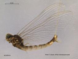 Image of Metretopodinae