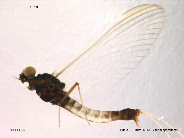 Image of <i>Paraleptophlebia strandii</i> (Eaton 1901)