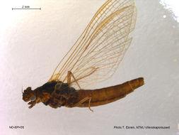 Image of <i>Leptophlebia marginata</i> (Linnaeus 1767)