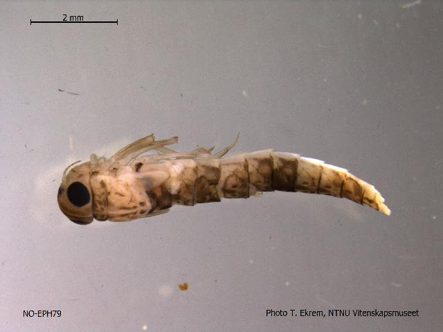 Image of <i>Metretopus alter</i> Bengtsson 1930