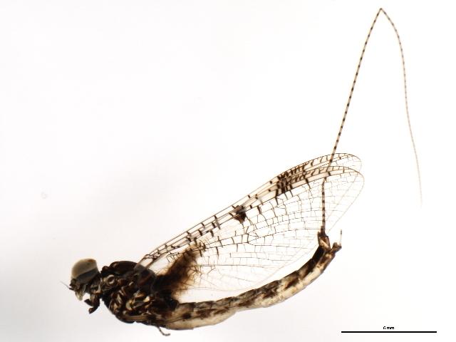 Image of <i>Siphloplecton basale</i> (Walker 1853)