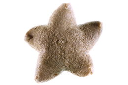 Image of <i>Pteraster</i>