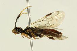 Image of <i>Onycholyda nigritibialis</i>