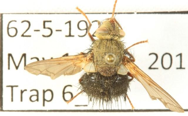 Image of <i>Epalpus signifier</i>