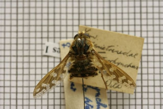 Image of Moegistorhynchus