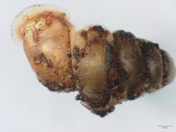 Image of Gastrocopta