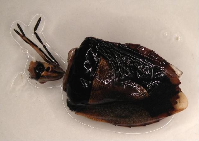 Image of <i>Carpocoris fuscispinus</i>