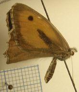 Image of <i>Hyponephele narica</i>