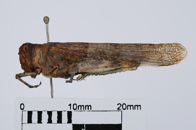 Image of Sphingonotus