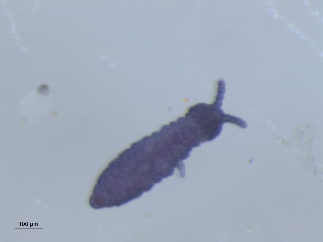 Image of <i>Xenylla pomorskii</i>