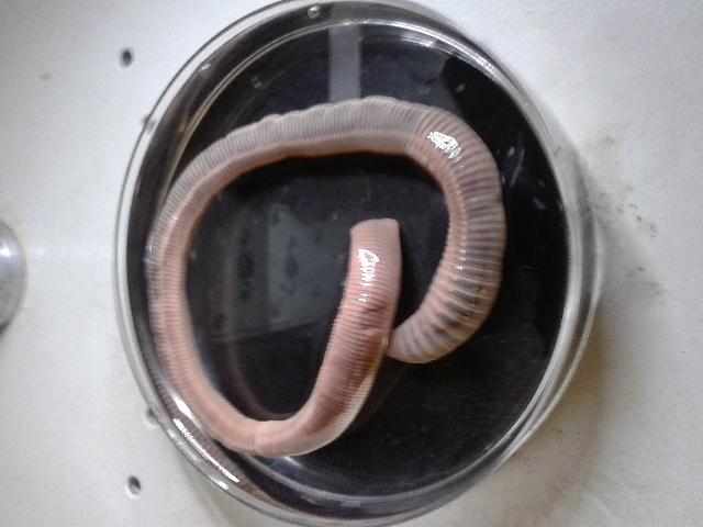 Image of <i>Eophila crodabepis</i> Paoletti 2016