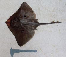 Image of Arhynchobatinae