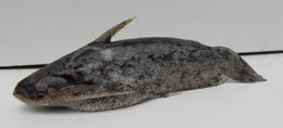 Image of <i>Trachelyopterus galeatus</i> (Linnaeus 1766)